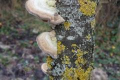Baumpilz am Sauerkirschstamm