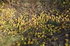 Wildäpfel