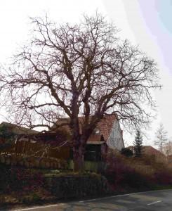 A1 Walnussbaum