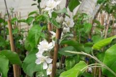 Sogar Blüten sind schon an den Winterhandveredlungen (15 Monate alt).