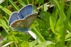 Himmelblauer Bläuling (Männchen)