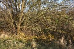 Streuobst Wildapfelbaum